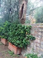 Buggiano Lemons